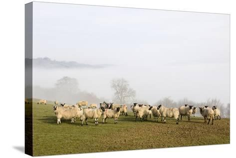 Sheep in Misty Weather on the Mynyd Epynt Moorland, Powys, Wales, United Kingdom-Graham Lawrence-Stretched Canvas Print