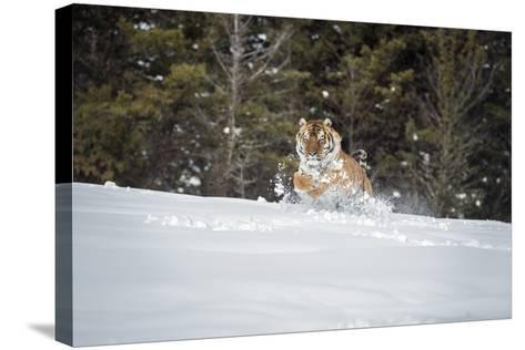 Siberian Tiger (Panthera Tigris Altaica), Montana, United States of America, North America-Janette Hil-Stretched Canvas Print