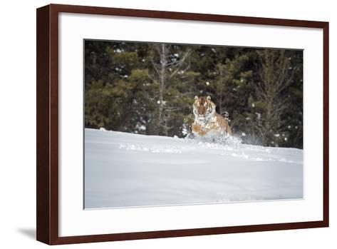 Siberian Tiger (Panthera Tigris Altaica), Montana, United States of America, North America-Janette Hil-Framed Art Print