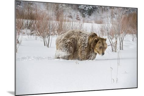 Brown Bear (Grizzly) (Ursus Arctos), Montana, United States of America, North America-Janette Hil-Mounted Photographic Print