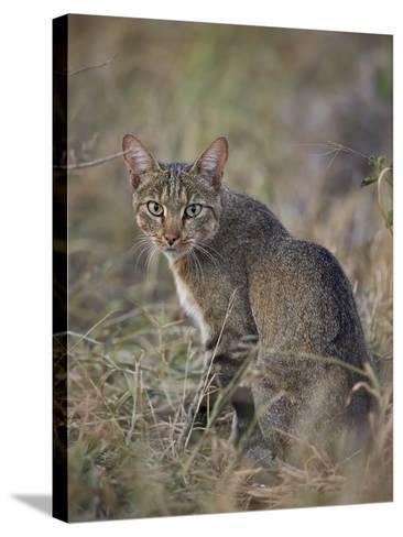 African Wild Cat (Felis Silvestris Lybica), Kruger National Park, South Africa, Africa-James Hager-Stretched Canvas Print