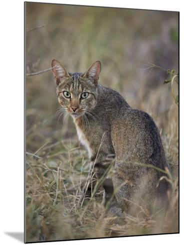 African Wild Cat (Felis Silvestris Lybica), Kruger National Park, South Africa, Africa-James Hager-Mounted Photographic Print