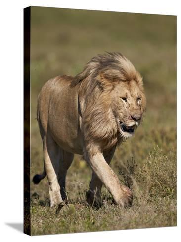 Lion (Panthera Leo), Ngorongoro Conservation Area, Serengeti, Tanzania, East Africa, Africa-James Hager-Stretched Canvas Print