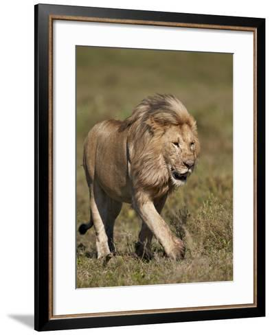 Lion (Panthera Leo), Ngorongoro Conservation Area, Serengeti, Tanzania, East Africa, Africa-James Hager-Framed Art Print