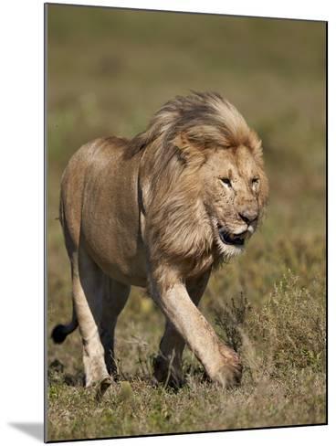 Lion (Panthera Leo), Ngorongoro Conservation Area, Serengeti, Tanzania, East Africa, Africa-James Hager-Mounted Photographic Print