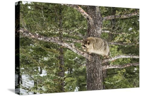 Racoon (Raccoon) (Procyon Lotor), Montana, United States of America, North America-Janette Hil-Stretched Canvas Print