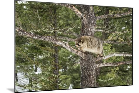 Racoon (Raccoon) (Procyon Lotor), Montana, United States of America, North America-Janette Hil-Mounted Photographic Print