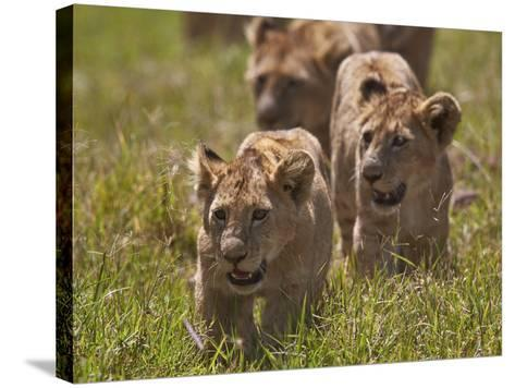 Lion (Panthera Leo) Cubs, Ngorongoro Crater, Tanzania, East Africa, Africa-James Hager-Stretched Canvas Print