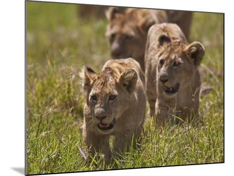 Lion (Panthera Leo) Cubs, Ngorongoro Crater, Tanzania, East Africa, Africa-James Hager-Mounted Photographic Print