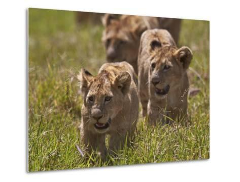 Lion (Panthera Leo) Cubs, Ngorongoro Crater, Tanzania, East Africa, Africa-James Hager-Metal Print