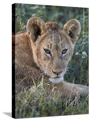 Lion (Panthera Leo) Cub, Ngorongoro Crater, Tanzania, East Africa, Africa-James Hager-Stretched Canvas Print