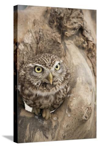 Little Owl (Athene Noctua), Devon, England, United Kingdom-Janette Hill-Stretched Canvas Print