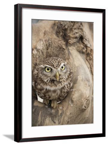 Little Owl (Athene Noctua), Devon, England, United Kingdom-Janette Hill-Framed Art Print