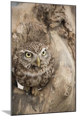 Little Owl (Athene Noctua), Devon, England, United Kingdom-Janette Hill-Mounted Photographic Print