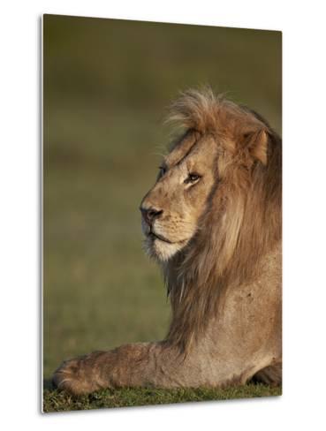 Lion (Panthera Leo), Ngorongoro Conservation Area, Serengeti, Tanzania, East Africa, Africa-James Hager-Metal Print