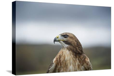 Red-Tailed Hawk (Buteo Jamaicensis), Bird of Prey, Herefordshire, England, United Kingdom-Janette Hill-Stretched Canvas Print