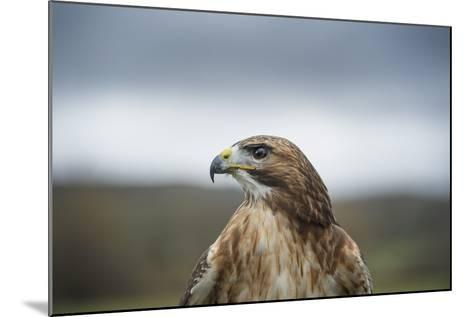 Red-Tailed Hawk (Buteo Jamaicensis), Bird of Prey, Herefordshire, England, United Kingdom-Janette Hill-Mounted Photographic Print