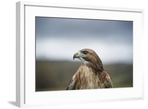 Red-Tailed Hawk (Buteo Jamaicensis), Bird of Prey, Herefordshire, England, United Kingdom-Janette Hill-Framed Art Print