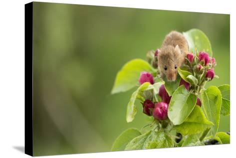 Eurasian Harvest Mouse (Micromys Minutus), Devon, England, United Kingdom-Janette Hill-Stretched Canvas Print
