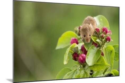 Eurasian Harvest Mouse (Micromys Minutus), Devon, England, United Kingdom-Janette Hill-Mounted Photographic Print