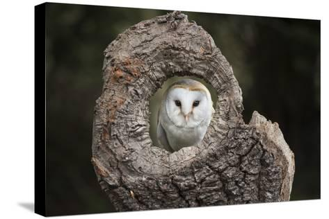 Barn Owl (Tyto Alba), Herefordshire, England, United Kingdom-Janette Hill-Stretched Canvas Print