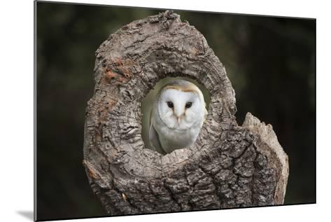Barn Owl (Tyto Alba), Herefordshire, England, United Kingdom-Janette Hill-Mounted Photographic Print