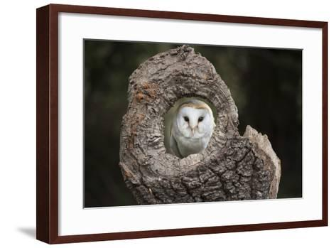 Barn Owl (Tyto Alba), Herefordshire, England, United Kingdom-Janette Hill-Framed Art Print