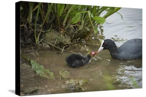 Coot (Fulica), Young Chick Feeding, Gloucestershire, England, United Kingdom-Janette Hill-Stretched Canvas Print