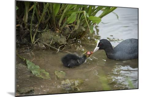 Coot (Fulica), Young Chick Feeding, Gloucestershire, England, United Kingdom-Janette Hill-Mounted Photographic Print