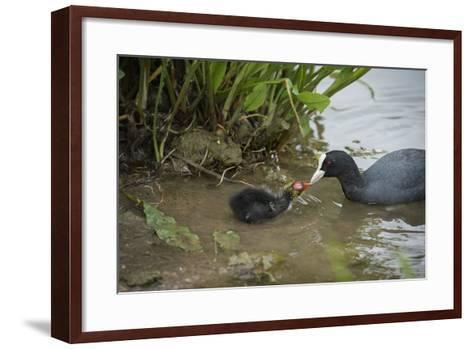 Coot (Fulica), Young Chick Feeding, Gloucestershire, England, United Kingdom-Janette Hill-Framed Art Print