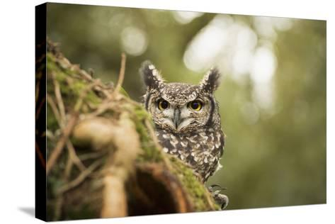Spotted Eagle Owl (Bubo Africanus), Herefordshire, England, United Kingdom-Janette Hill-Stretched Canvas Print