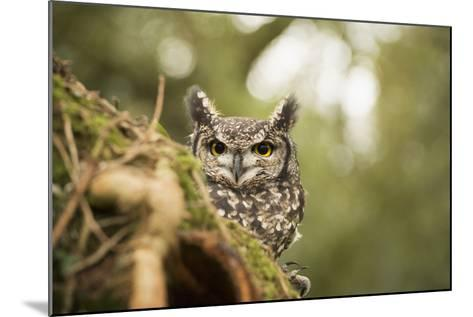 Spotted Eagle Owl (Bubo Africanus), Herefordshire, England, United Kingdom-Janette Hill-Mounted Photographic Print