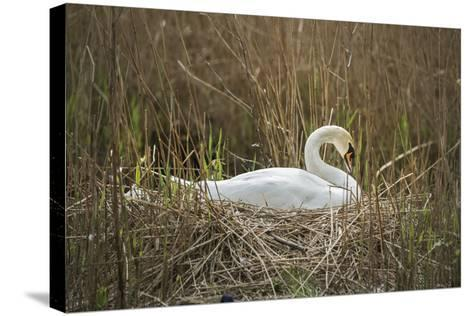 Swan (Cygnus), Gloucestershire, England, United Kingdom-Janette Hill-Stretched Canvas Print