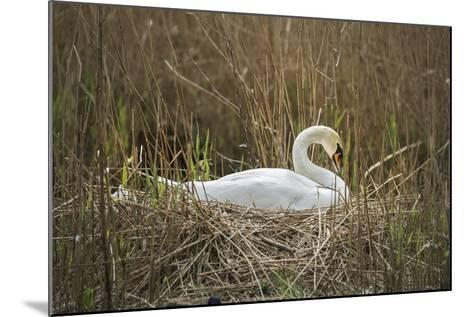 Swan (Cygnus), Gloucestershire, England, United Kingdom-Janette Hill-Mounted Photographic Print