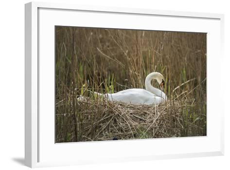 Swan (Cygnus), Gloucestershire, England, United Kingdom-Janette Hill-Framed Art Print