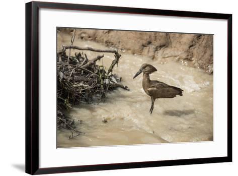 Hamerkop (Scopus Umbretta), South Luangwa National Park, Zambia, Africa-Janette Hill-Framed Art Print