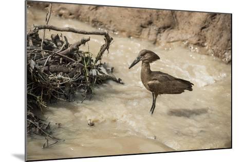 Hamerkop (Scopus Umbretta), South Luangwa National Park, Zambia, Africa-Janette Hill-Mounted Photographic Print