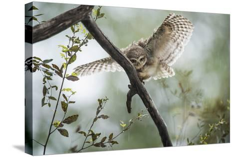 Spotted Owlet (Athene Brama), Ranthambhore, Rajasthan, India-Janette Hill-Stretched Canvas Print