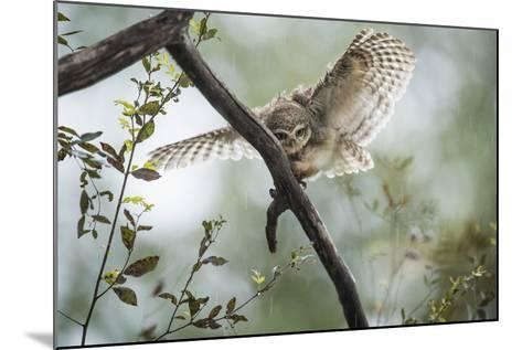 Spotted Owlet (Athene Brama), Ranthambhore, Rajasthan, India-Janette Hill-Mounted Photographic Print