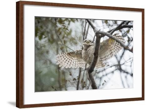 Spotted Owlet (Athene Brama), Ranthambhore, Rajasthan, India-Janette Hill-Framed Art Print