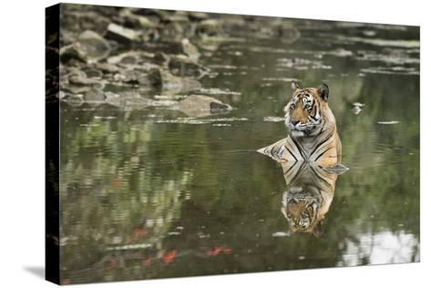 Ustaad, T24, Royal Bengal Tiger (Tigris Tigris), Ranthambhore, Rajasthan, India-Janette Hill-Stretched Canvas Print