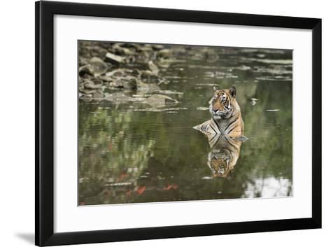 Ustaad, T24, Royal Bengal Tiger (Tigris Tigris), Ranthambhore, Rajasthan, India-Janette Hill-Framed Art Print