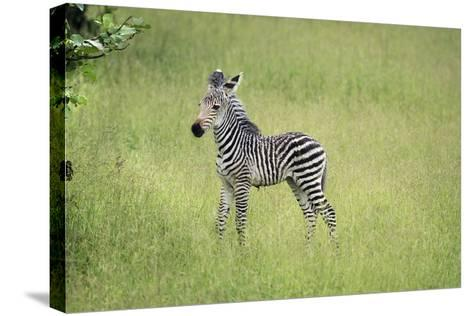 Crawshays Zebra Foal (Equus Quagga Crawshayi), South Luangwa National Park, Zambia, Africa-Janette Hill-Stretched Canvas Print