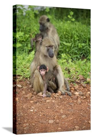 Mother and Baby Yellow Baboon (Papio Cynocephalus), South Luangwa National Park, Zambia, Africa-Janette Hill-Stretched Canvas Print