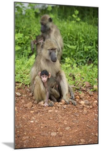 Mother and Baby Yellow Baboon (Papio Cynocephalus), South Luangwa National Park, Zambia, Africa-Janette Hill-Mounted Photographic Print
