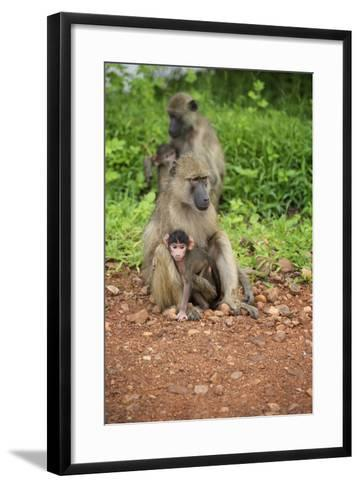 Mother and Baby Yellow Baboon (Papio Cynocephalus), South Luangwa National Park, Zambia, Africa-Janette Hill-Framed Art Print