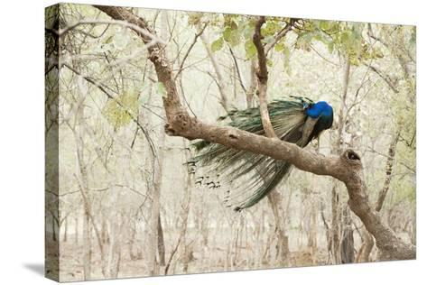 Peacock (Indian Peafowl) (Pavo Cristatus), Ranthambhore, Rajasthan, India-Janette Hill-Stretched Canvas Print