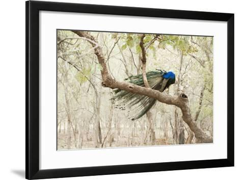 Peacock (Indian Peafowl) (Pavo Cristatus), Ranthambhore, Rajasthan, India-Janette Hill-Framed Art Print