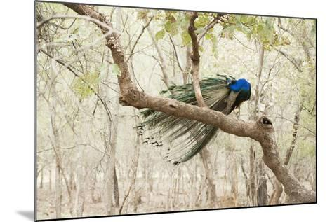 Peacock (Indian Peafowl) (Pavo Cristatus), Ranthambhore, Rajasthan, India-Janette Hill-Mounted Photographic Print