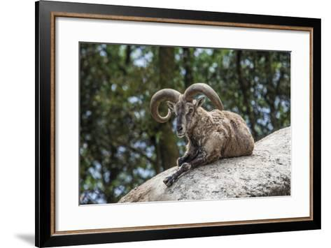 Typical Goat of Northern India Rests on a Rock in the Sun in a Wildlife Reserve, Darjeeling, India-Roberto Moiola-Framed Art Print